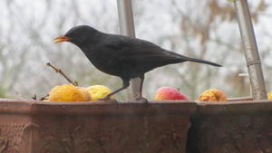 Amsel