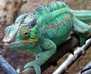 Cameleon