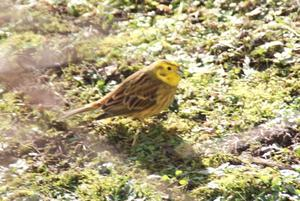 Goldammer (Emberiza citrinella)