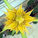 Golden-Lotus-Banane