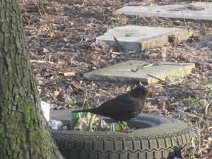 Amsel mit Reifen