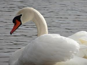'mein lieber Schwan'