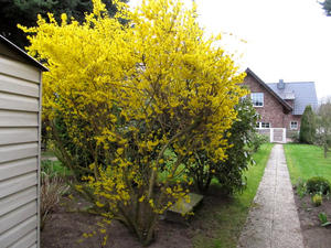 Forsythien in voller Blüte