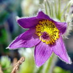Pulsatilla, eine zarte Blte.