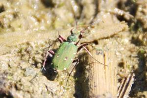 Feld-Sandlaufkfer(Cicindela campestris)