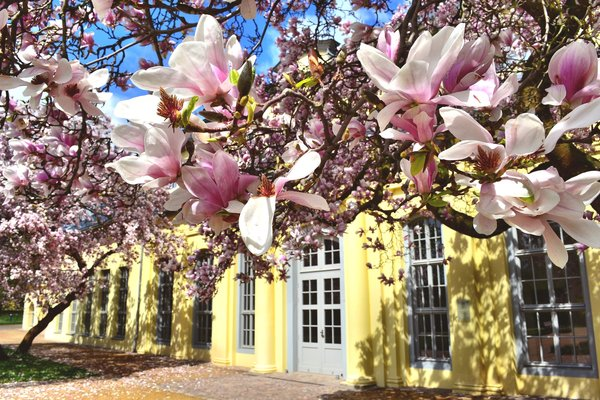 Magnolien am Teehaus, z.Zt. wohl das beliebteste Motiv in Altenburg - da mchte ich mich natrlich nicht ausschlieen;-)