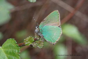 Brombeerzipfelfalter (Callophrys rubi )