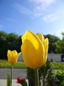 Gelbe Tulpe