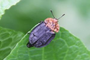 Rothalsige Silphe (Oiceoptoma thoracica)