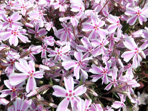 Teppichphlox