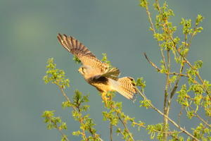 Falke beim Abflug in der Abendsonne