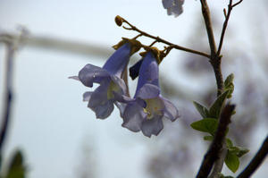 Paulownia tomentosa