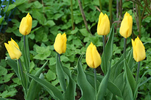 Tulpen on yellow