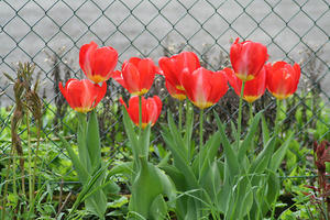 Tulpen on red