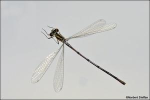 Hufeisen-Azurjungfer (Coenagrion puella) Mnnchen