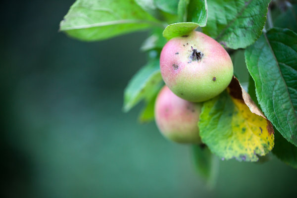 apfel, farbe-im-herbst, farbe-im-herbst-mittendrin
