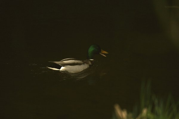 fluss, ente, april-2014, wildente