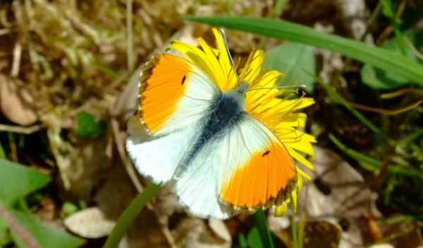 schmetterling, tier, falter, aurorafalter, falter-in-bad-wildungen, schmetterlinge-in-bad-wildungen