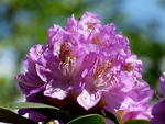 Rhododendron in pink.