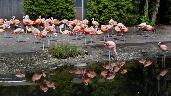 walsrode, weltvogelpark, chile-flamingos