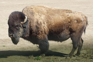 Bison, die Ruhe in Person