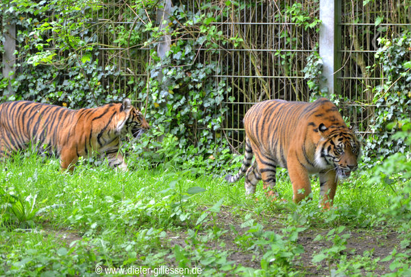 tiere, augsburger-zoo, tiere-im-zoo, tiger