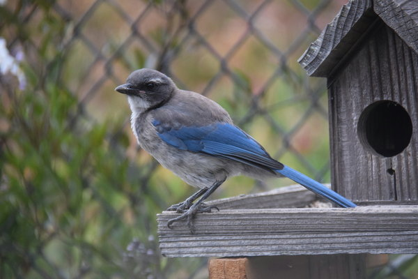 vogelbeobachtung, blue-jay
