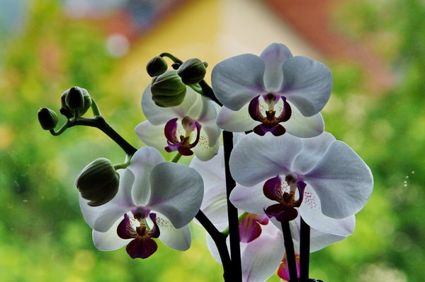 orchidee, fensterbank