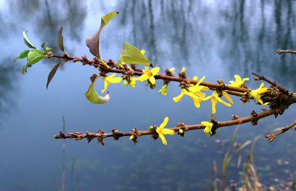 baggersee-bei-sehnde, forsythie-forsythia