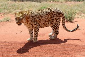 Leopardin in Okonjima (1)