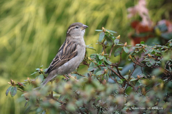 naturfotografie, vögel-im-garten, vögel-im-winter, gartenvögel, haussperling, gartenvögel-im-winter, haussperling-im-garten, haussperling-im-winter, haussperling-an-der-futterstelle