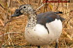 Comb Duck - Kolbenente  (Keoladeo-Park)