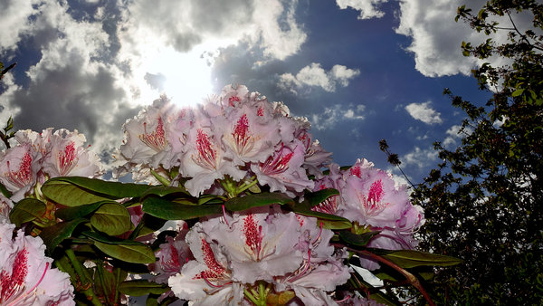 rhododendron, maiwetter