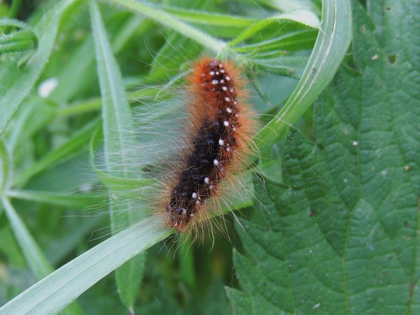 schmetterling, raupe