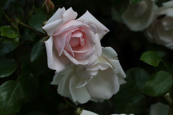 rose, new-dawn-kletterrose