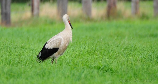 storche, storch-in-burgdorf, storch-2015
