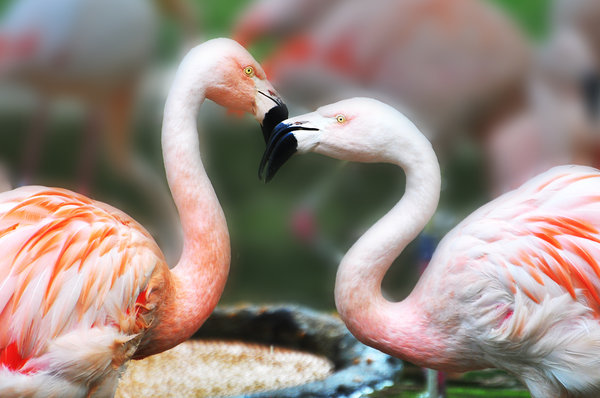 flamingos, zoo-berlin