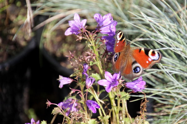 tierfotografie, schmetterling, naturbeobachtungen-in-burgdorf, naturbeobachtung, tagpfauenauge, insektenarten, schmetterlingsart, schmetterlingsarten, tagpfauenauge-auf-blüte, schmetterling-im-garten