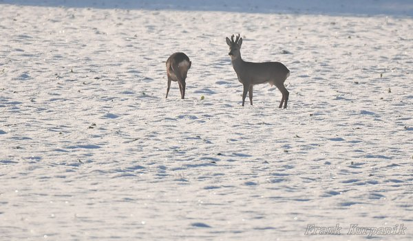 2016, winterimpressionen, impressionen, rehwild, rehbock, winterimpression, rehe-im-winter, impression, winterimpressionen-2016