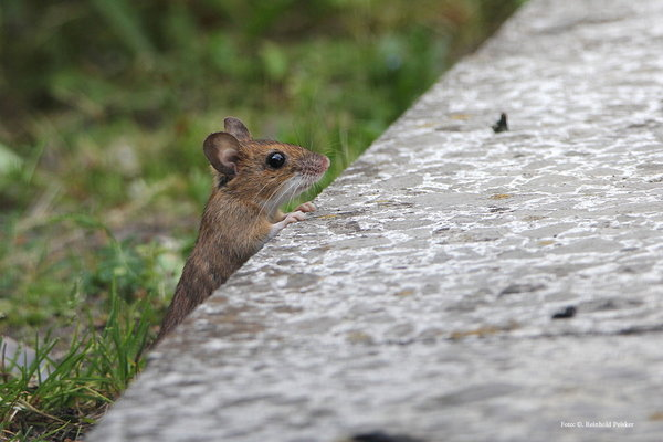 naturfotografie, tierfotografie, tierfoto, naturbeobachtungen-in-burgdorf, naturbeobachtung, tiere-im-garten, maus, gartentiere, tierbeobachtung, mäuseart, mäusearten, maus-im-garten
