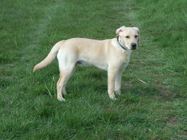 hund, hunde-liebling, labrador, labrador-retriever, labrador-in-bad-wildungen, ole, ole-in-bad-wildungen