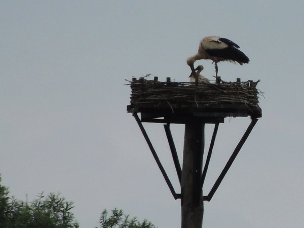 storch, jungtiere