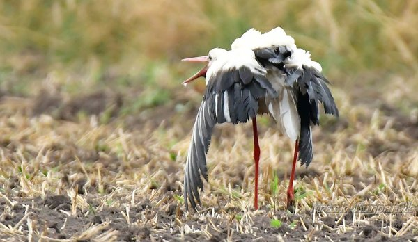 jungstörche, storch-in-burgdorf, burgdorfer-storch, storch-2016, jungstorch