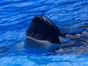 Orca- und Delfin-Shows,  Attraktionen im 'Sea World' Orlando . . .