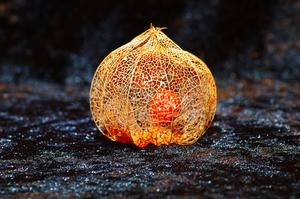 Erneutes Physalis-Shooting