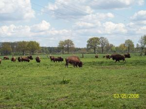 Bisons in Essel