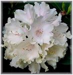 Rhododendron in weiss