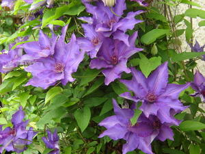 Clematis (Waldrebe)