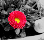 'Rob Roy'  Gänseblümchen (Bellis perennis) in Colorkey