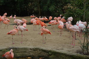 Flamingos im ZOO Hannover